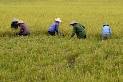ベトナムのコメ生産性、東南アジアで最高のサムネイル